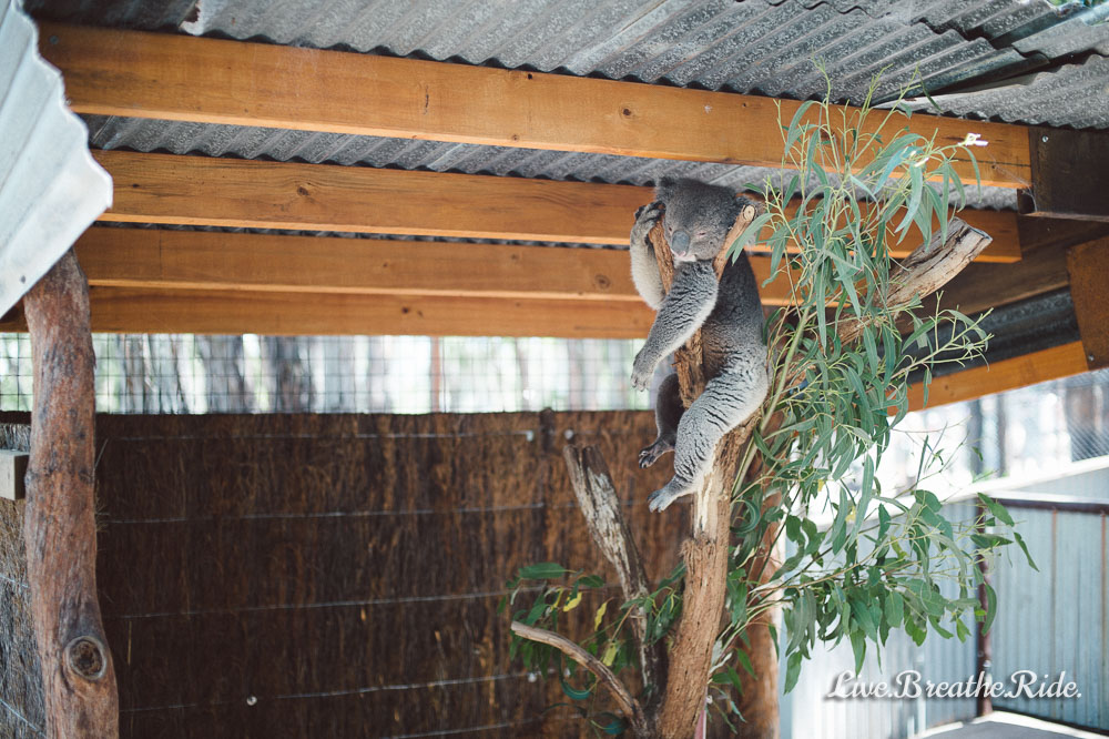 lazy koala at Gumbuya World